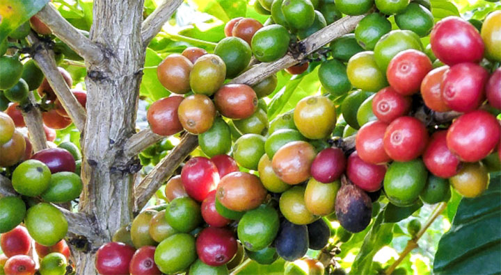 Sustainable Coffee – Polinfrut Network